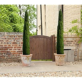 YouGarden Italian Cypress Trees (Set of 2)