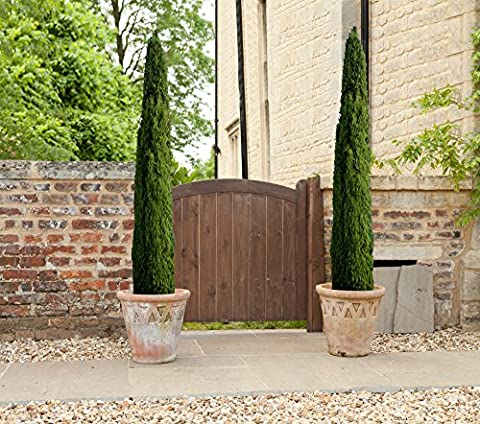 Pair of Italian Cypress Trees 1.2-1.4 m tall potted plants