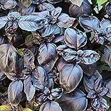 200 Samen Basilikum Red Shiraz – Ocimum basilicum, violette Blätter