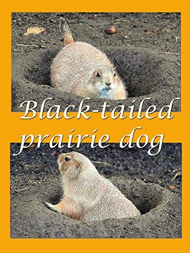 Black-tailed prairie dog [OV] - Black-tailed Prairie Dog