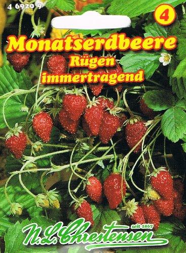 Monatserdbeere Rügen Erdbeeren immertragend
