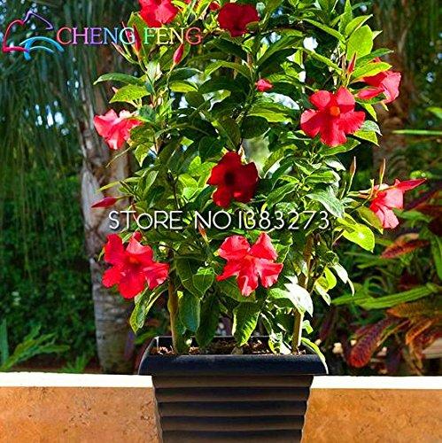Rare Plant 50PCS A Bag Mandevilla sanderi Seeds Belle Graine Fleur Bonsai Plante Diy SeedsAndPlants Jardin des Plantes Très facile