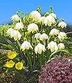 BALDUR-Garten Märzbecher Leucojum, 24 Zwiebeln von Baldur-Garten bei Du und dein Garten