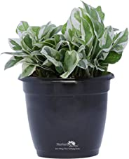 Nurturing Green 25-30 Leaves Scindapsus (Money Plant/Pothos) Foliage Plant for Indoors with Air Purifying Ability in Black Hermes(Plastic) Pot