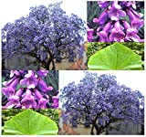 Paulownia tomentosa Blauglockenbaum 70 cm Höhe Enormer Wuchs bis 2 Meter pro Jahr Frosthart mit betörend duftenden Blüten