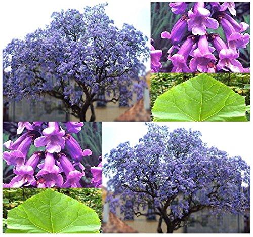 paulownia-tomentosa-blauglockenbaum-70-cm-hhe-enormer-wuchs-bis-2-meter-pro-jahr-frosthart-mit-betre