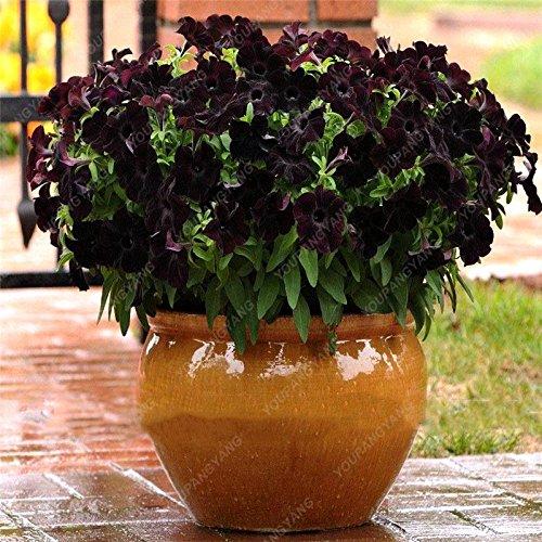 100 graines de pétunia --Black velours pétunia, variété rare, rustique, balcon durable, cour bonsaïs de fleurs pour le jardin de la maison blanche