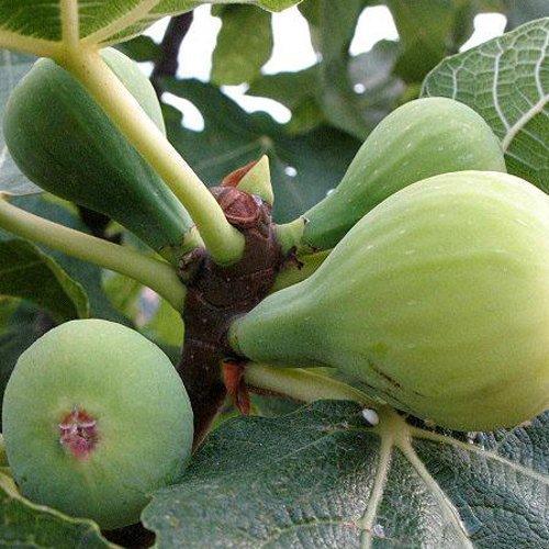 Higuera - Ficus carica - Cuello dama Blanca - Mac.22c. - 120cm de altura