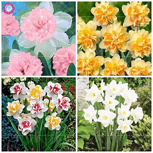 GEOPONICS SEEDS: 100 Stück Doppelklappe Narcissus (nicht Birnen) Bonsai Narcissus tazetta Bonsai Blume Innen-Blumen Topfpflanzen: mix