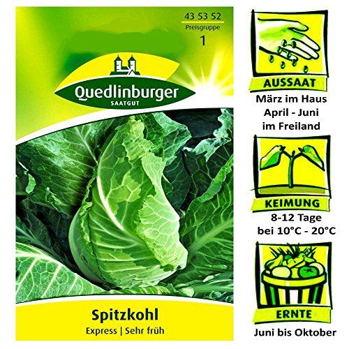 Quedlinburger Spitzkohl Sorte Express – Brassica oleracea / sehr frühe Sorte / Ernte Juni bis Oktober