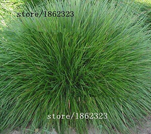 Blu Festuca Grass Seeds - (Festuca glauca) perenni rustiche ornamentali belle semi di erba per fioriere vaso di fiori 50pcs