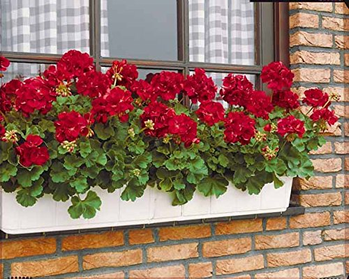 Willemse France 001036 Plante Géranium à massif Multicolore, 10 x 10 x 30 cm