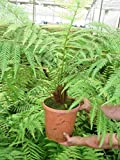 Dicksonia antarctica - Baumfarn mit Palmähnlichem Stamm - verschiedene Größen (80-100cm- Ø 23cm - 5,7 Ltr)