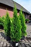 Smaragd Lebensbaum Thuja occidentalis Smaragd 80 - 100 cm hoch im 5 Liter Pflanzcontainer