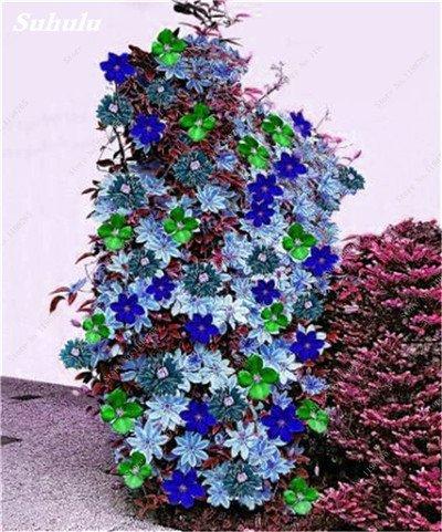 100 Pcs Clematis Graines de plantes Belle Paillage Graines de fleurs Bonsai ou un pot de fleurs vivaces pour jardin Mix Couleurs 12