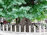 Echter Ginkgo -Ginkgo biloba- 3 frische Samen ***Kann über 1000 Jahre alt...