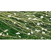 1 Bunch - Ranunculus aquatillis Oxygenating Pond Plant