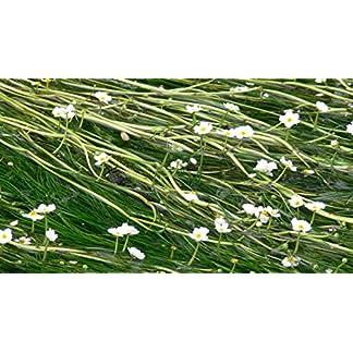1 Bunch - Ranunculus aquatillis Oxygenating Pond Plant 1 Bunch – Ranunculus aquatillis Oxygenating Pond Plant 61eeNKF0vBL