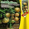 Birnenmelone Pepino von Chrestensen - Du und dein Garten