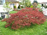 Rote Spitze Blatt Japanischer Ahorn Acer palmatum atropurpureum dissectum Baum Seeds 10