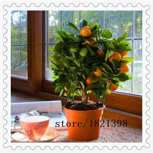 navire libre 50 graines Balcon Patio Potted arbres fruitiers graines plantées Kumquat Graines d'Orange Seeds Tangerine Citrus