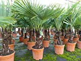 Palme XL 130-150 cm Trachycarpus