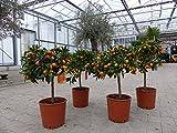 Kumquat mit Frucht Fortunella margarita Citrus Zitrus 60-75 cm Zitruspflanze