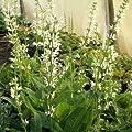 Wiesen - Salbei ( Salvia pratensis ' Swan Lake ) weiss von Lichtnelke Pflanzenversand bei Du und dein Garten