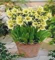 Ismene, Peruanische Narzissen, Peruvian Daffodil Sulphur Queen - Blumenzwiebel / Knolle / Wurzel von GardenSeedsMarket bei Du und dein Garten
