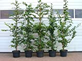 5 Stück Carpinus betulus * (Weißbuche oder Hainbuche), Weißbuchenhecke, Hainbuchenhecke * Topf 5-10 Liter 150-175 cm