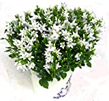 Campanula portenschlagiana - Dalmatiner Glockenblume weiß, Polster-Staude, blühend, winterhart, wintergrün, Balkonpflanze, Steingarten-Pflanze,sogar als Zimmerpflanze im 12 cm Topf