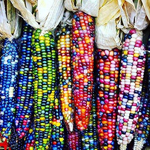20 PC / Beutel Regenbogen Maissamen nährstoffreiche Bio-Saatgut Gemüse Korn Getreide Lebensmittel 97% Keimung Hausgarten Pflanze