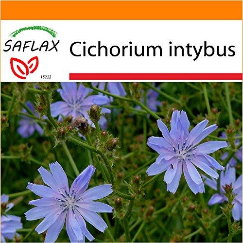 SAFLAX - Garden in the Bag - Heilpflanzen - Wegwarte - 250 Samen - Cichorium intybus - Garden In A Bag