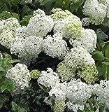 Bauernhortensie Schneeball 40-60cm - Hydrangea macrophylla