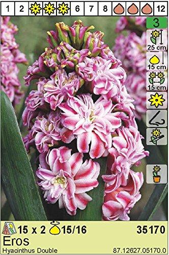 "Hyazinthe – Hyacinthus orientalis gefüllt"" Eros"" (3)"