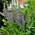Salbei, Salvia nemorosa 'Marcus'® von VDG-Stauden - Du und dein Garten