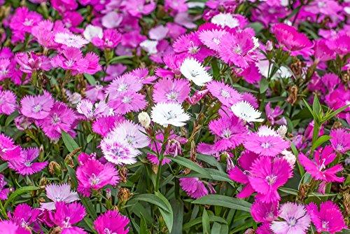Pfingstnelke 30 Samen, Nelke, (Dianthus gratianopolitanus)