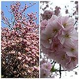 Müllers Grüner Garten Shop Japanische Blütenkirsche Prunus serrulata Kanzan, rosa blühend 80-120 cm, Pflanze im 7,5 Liter Topf