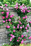 #8: Beautiful Purple Climbing Rose Flower Seeds Very Easy to Grow in any Season - BEE Garden Organic