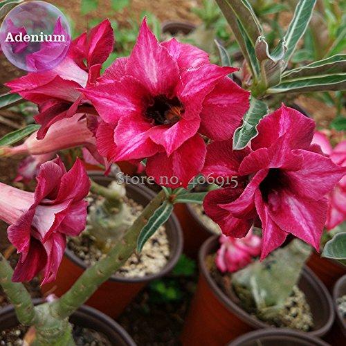 Go Garden Bellfarm bonsaïs 2-couche rouge foncé Adenium grand pétales avec Blooming désert trou noir rose haut -2pcs Germination/Pack