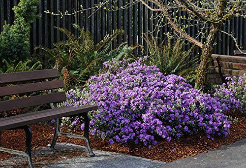 Generic Seeds: Rhododendron Ramapo - # 1 Container Samen - Purple Blooms - Hardy bis -25 F