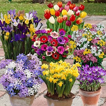 300-spring-flowering-bulb-offer-7-colourful-varieties-to-bring-your-garden-life-next-spring