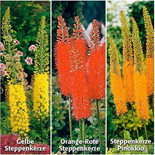 Acecoree Samen- 100 Stück Steppenkerze Samen Selten Blumensamen Saatgut winterhart mehrjährig Blütchen Steppenlilie Lilienschweif für Terrasse/Balkon/Garten