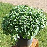 250 Samen griechischer Basilikum – buschiger Wuchs, gutes Aroma