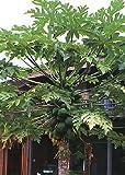 TROPICA - Tropischer Melonenbaum / Papaya (Carica papaya) - 30 Samen
