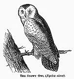 The Poster Corp Snowy Owl 1877. /Nnyctea Nivea. Line Engraving 1877. Fine Art Print (45.72 x 60.96 cm)