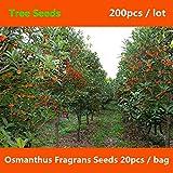Shopmeeko ^^ Ampia coltivazione Osmanthus Fragrans ^^^^ 200pcs, abbellisce l'albero dolce di Osmanthus ^^^^, un arbusto sempreverde dolce oliva ^^^^