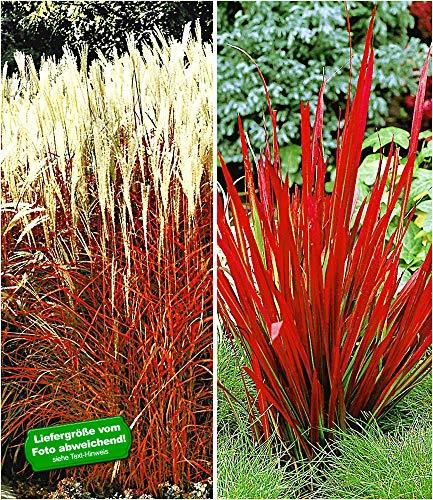 BALDUR-Garten Rote Gräser-Kollektion, 4 Pflanzen Ziergras Indian Summer Chinaschilf und Ziergras Red Baron Imperata cylindrica (Red Chief)