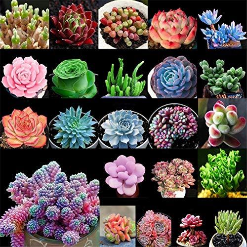 Rowentauk Sukkulente Samen 24 Gemischte Samen Pflanzen Samen Garten Indoor Topfpflanzen, Verpackt von 100 Stück/Beutel -