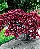 AIMADO sementi giardino - 20pcs raro rosso Acero giapponese 'Garnet' - Cespuglio Semi albero sementi fiori giardino resistenza al freddo perenne (SVC030825_RR)